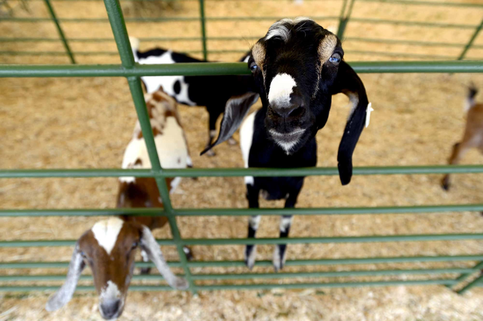 Goats reach for food at the petting zoo Saturday, July 28, 2012 at the Fredericksburg Agricultural Fair in Fredericksburg, Va. (AP Photo/The Free Lance-Star, Reza A. Marvashti)