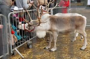 Reindeer Photo by Stela Taneva