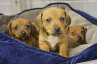 Peter, a Jack Russell terrier/dachshund mix, snuggles with his siblings in a kennel at the Michiana Humane Society in Michigan City, Ind., Saturday, Dec. 24, 2016. These puppies are among 23 that will be available for adoption in the coming weeks. (Jessica O'Brien/The News Dispatch via AP)