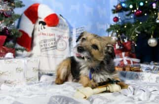 EDITORIAL USE ONLY Louise, aged 9 years, a rescued Terrier dog, receives a welcome gift at Battersea Dogs & Cats Home in London from the Amazon Christmas Store as the online retailer teams up with the charity to deliver bestselling pet Christmas presents to its residents. PRESS ASSOCIATION. Photo. Issue date: 15 December, 2017. Amazon sales show that three quarters of all pet gifts this year are for dogs with more than half of those pets receiving up to three gifts. According to an independent survey commissioned by Amazon, the average amount spent on the family pet this Christmas is £13. Photo credit should read: Jonathan Hordle/PA Wire