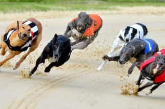 *STANDALONE PHOTO.* Greyhounds race in the 11.11 at Brough Park, Newcastle.