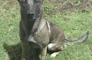 Northumbria Police Dog Boo, a five-year-old Belgian Malinois, who proved her mettle in catching a fleeing fugitive.