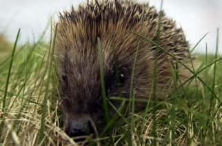 Hedgehog populations have been decreasing due to the urbanisation of their natural habitat.