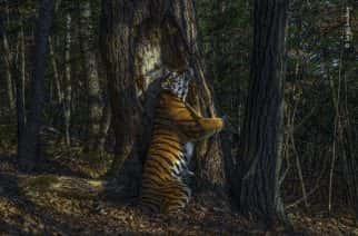Siberian Tiger! by Sergey Gorshkov, which has won the 2020 Wildlife Photographer of the Year competition.