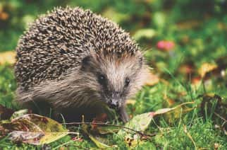 The humble, loveable hedgehog is at risk - and University of Sunderland is supporting a national campaign to make campuses a safer, friendlier place for them, thanks to MA Journalism student Charlotte Riley. Picture: Alexas Fotos @ Pixabay