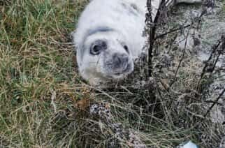 Two grey seal pups found on Sunderland coastline in past week