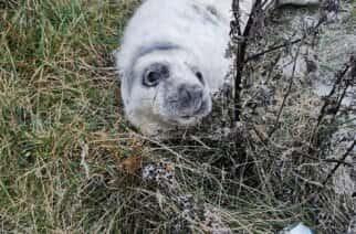 Two grey seal pups found on Sunderland coastline in past week