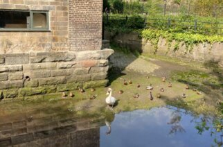 Ducks and swans at Ouseburn opposite the farm