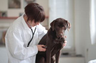 DT69J4 Female veterinarian listening to dogs chest through stethoscope