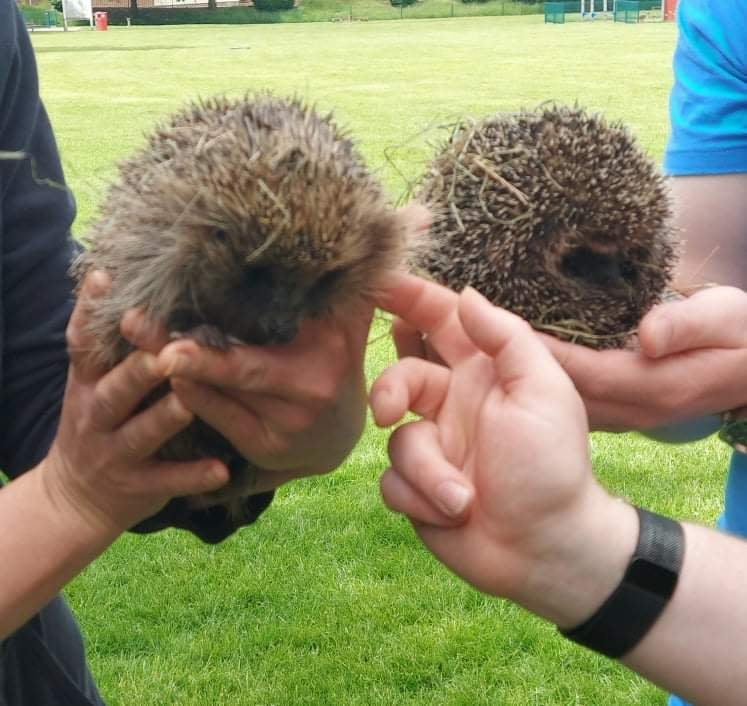 Two hedgehogs being held by human hands